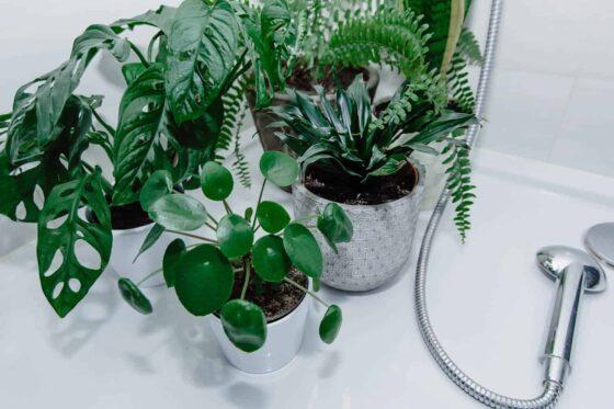 clean pilea houseplant leaves