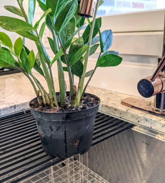 Watering ZZ Plants: How Much and How Often - The Healthy ...