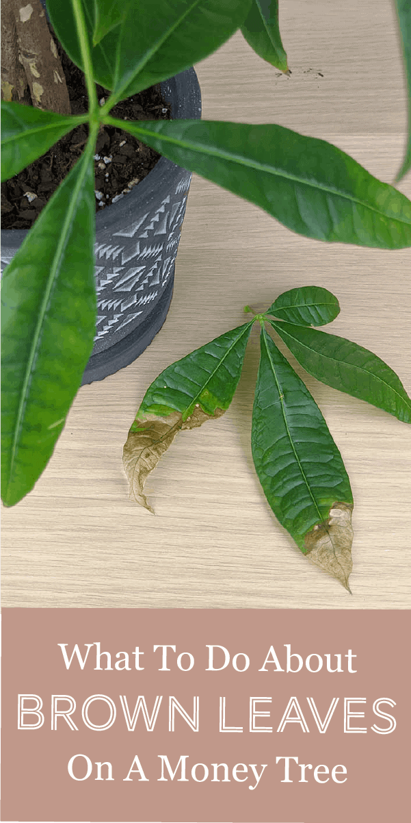 Money Trees Drying Up & Turning Brown? Here's How to Fix ...